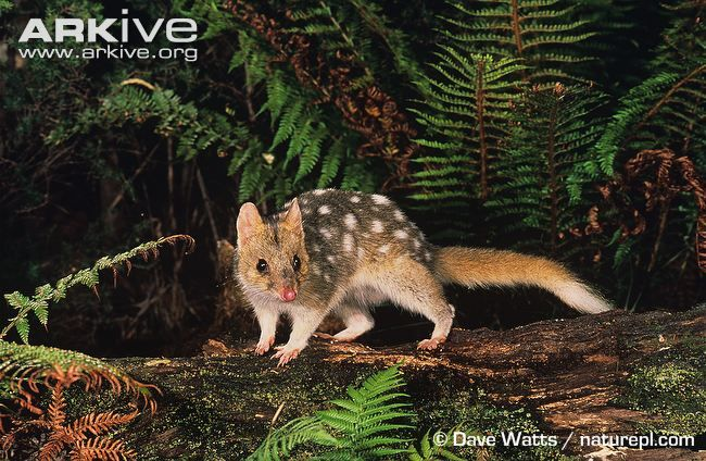 Eastern quoll, medium sized carnivorous marsupial with thick, soft fur that is fawn, brown or black and covered in small white spots, except for the tail which is long and bushy sometimes with a white tip.