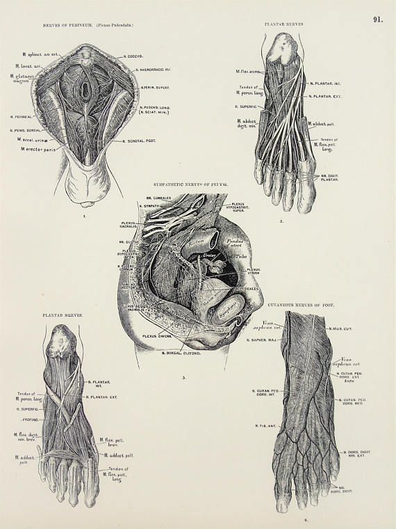 Nervous System Nerves Of The Feet Pelvis And Perineum 1880s