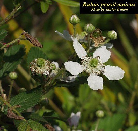 Rubus pensilvanicus - SAWTOOTH BLACKBERRY - ROSACEAE