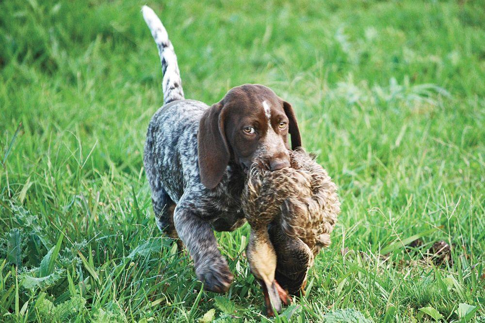 GUN DOG\'s 2014 Puppy Gallery | Gun Dog Magazine | Hunting Dogs ...