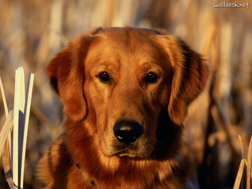 picture perfect Cute dog wallpaper, Pretty dogs, Golden