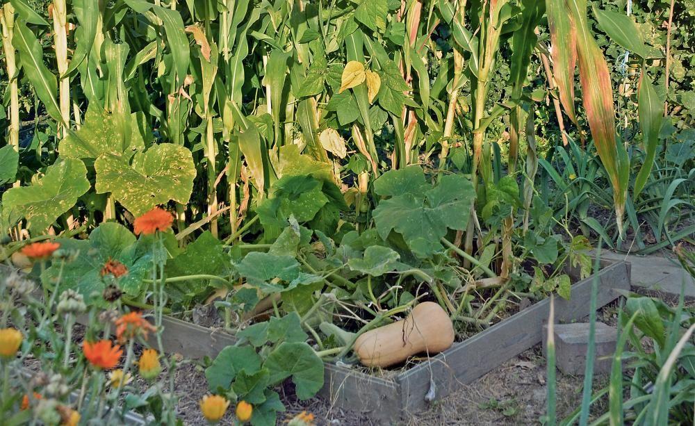 Gastbeitrag Drei Schwestern Ein Milpa Beet Im Garten Garten Mischkultur Pflanzen
