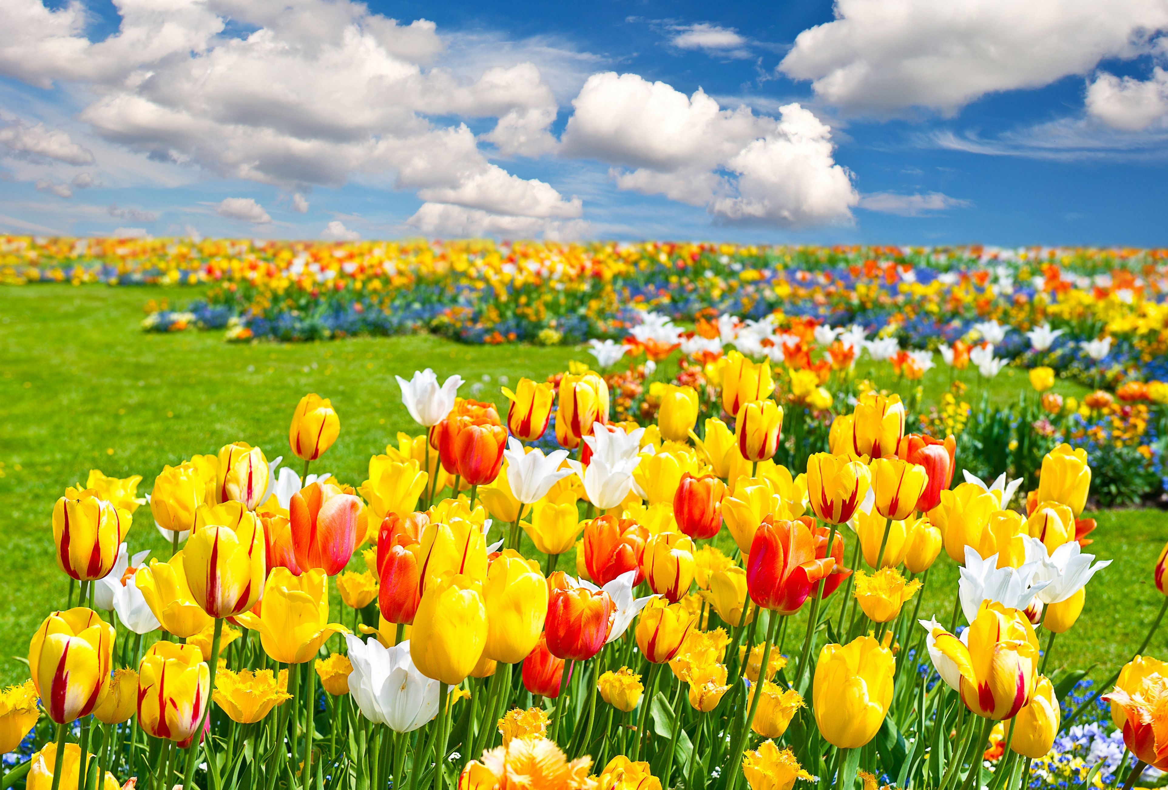 Hd Wallpaper Tulip Fields 2021 Live Wallpaper Hd Tulip Fields Flower Landscape Field Wallpaper