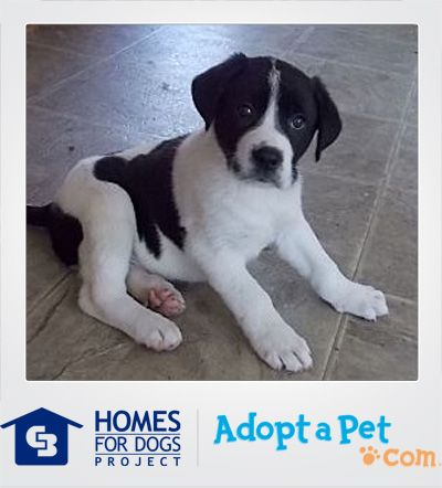 It Doesn T Get Any Cuter Than Harris This German Shepherd Dog Labrador Retriever Mix From Memphis Tn Will Grow Up To Puppy Adoption Dogs German Shepherd Dogs