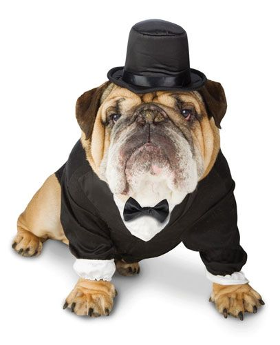 Turn your english bulldog pet into a handsome gentleman with this ...