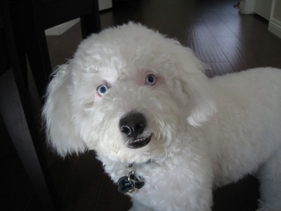 Young Standard Poodle With Blue Eyes A Major Flaw But They Are