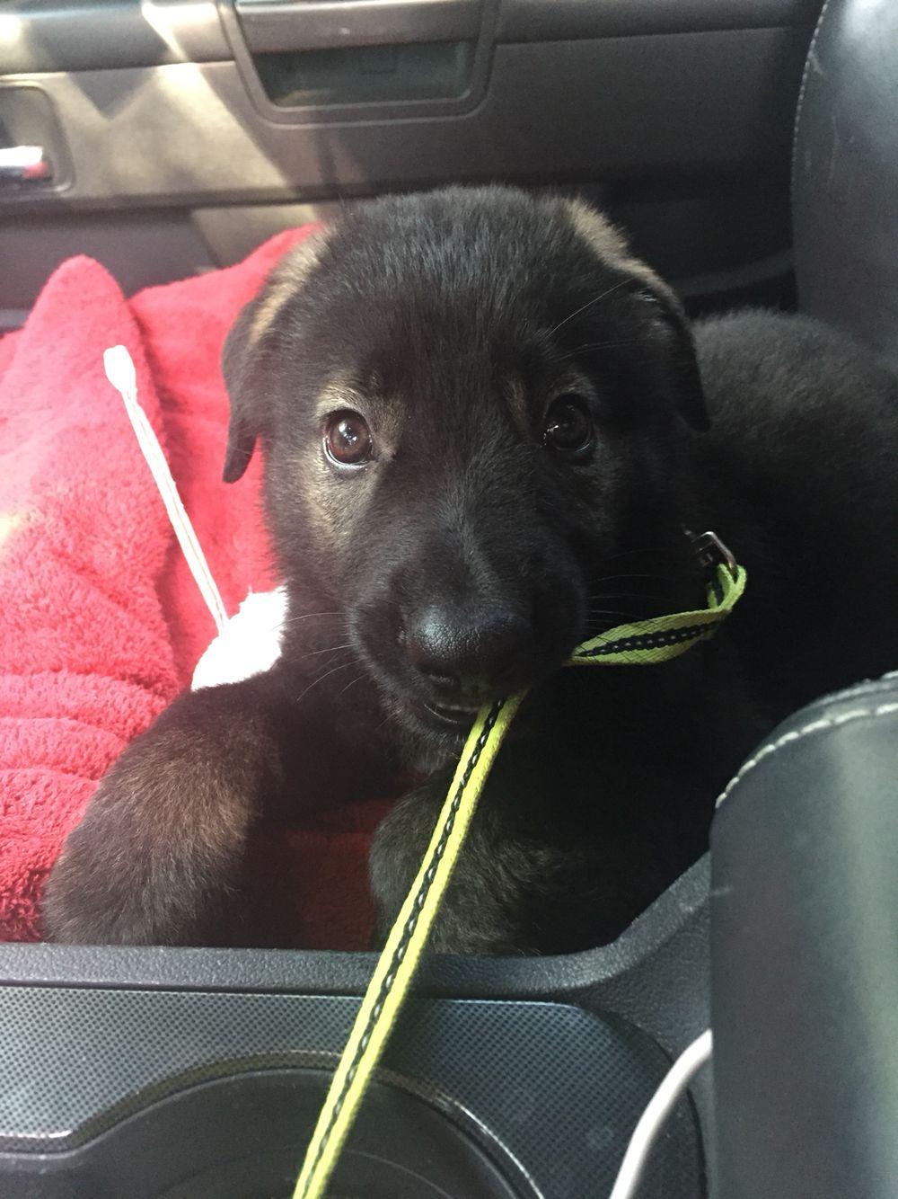 Gsd first vet visit vet visits fur babies gsd