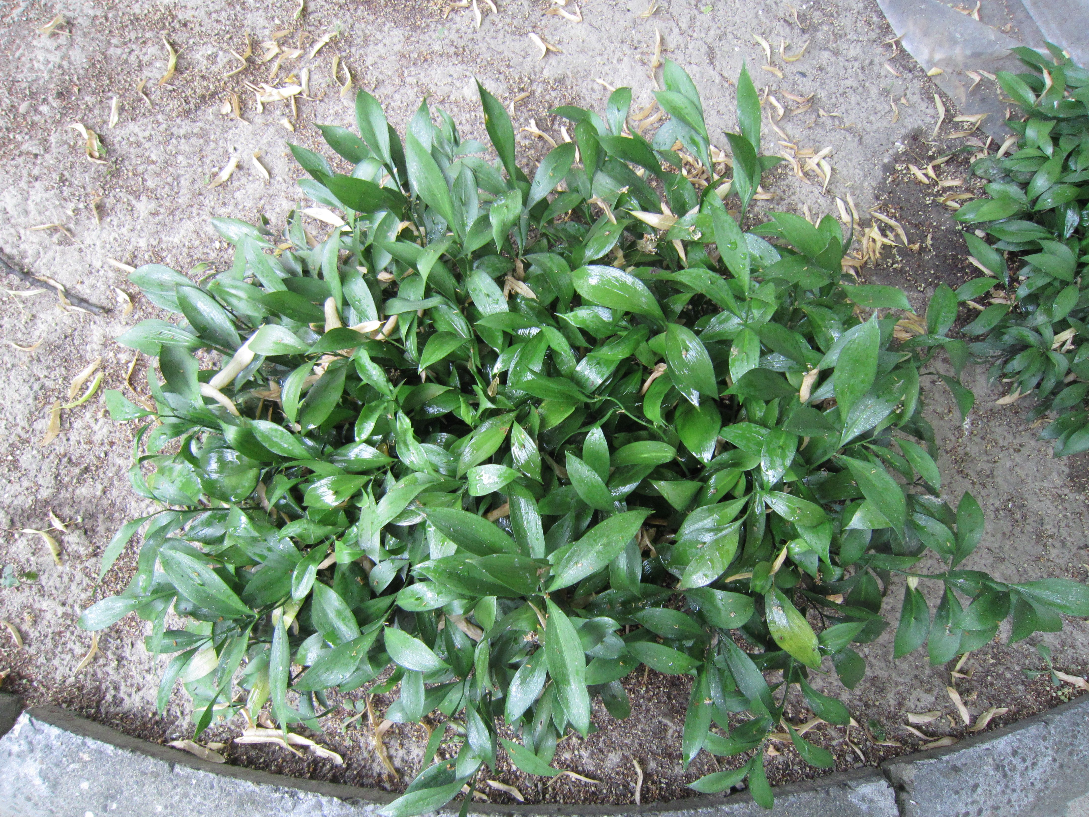 Israeli Ruscus Plant