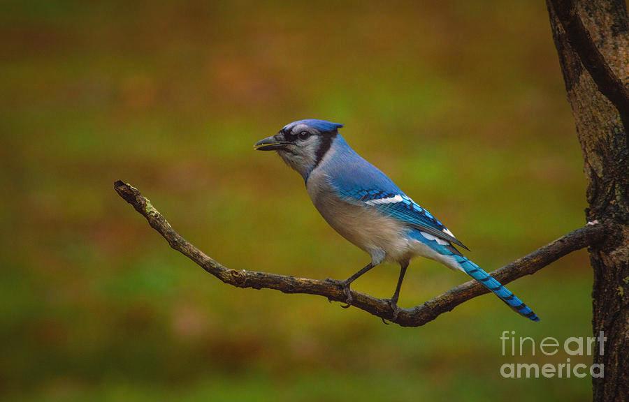 Bird Photograph - Blue Jay by Lena Auxier