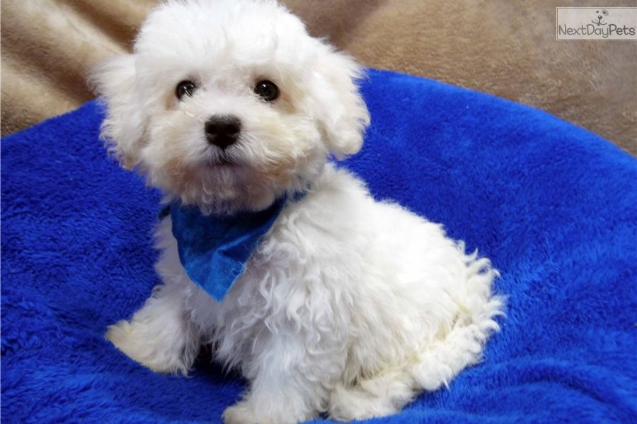 I Am A Cute Bichon Frise Puppy Looking For A Home On Nextdaypets