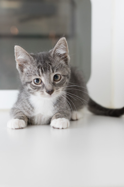 Adopt Koneko Cat Cafe Cat Adoption Cat Cafe Cats