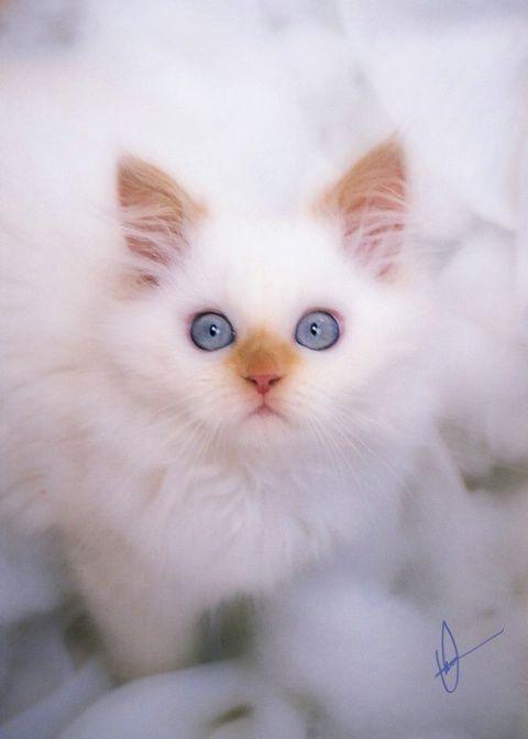 A D O R A B L E combination, white fuzz ball, caramel nose, big blue eyes...