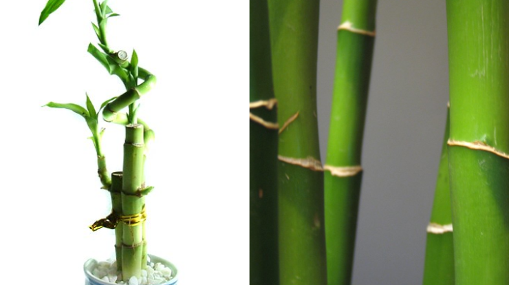 Why Are Lucky Bamboo Plant Leaves Turning Yellow All About Lucky Bamboo Plant In 2020 Plant Leaves Turning Yellow Lucky Bamboo Plants Plant Leaves