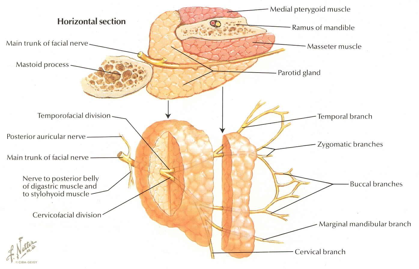 Magnífico Mnemotécnicos Para La Anatomía Inspiración - Anatomía de ...