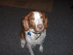 Wi Katie Is An Adoptable Brittany Spaniel Dog In Green Bay Wi