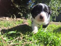 Pure Bred Border Collie Pups Border Collie Puppies For Sale Cessnock New South Wales On Pups4sal Border Collie Puppies Collie Puppies For Sale Collie Puppies
