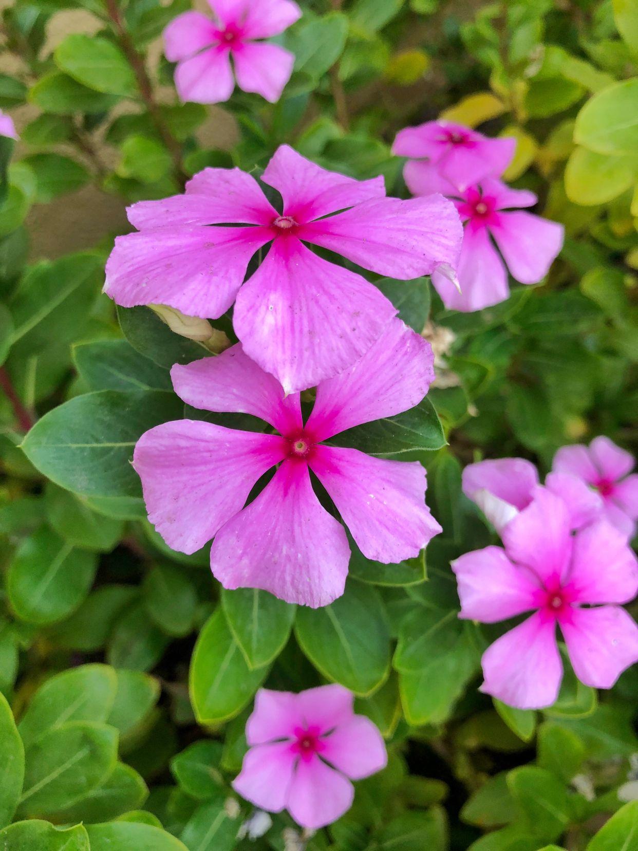 Periwinkle Periwinkle Flowers Flower Names Periwinkle Plant