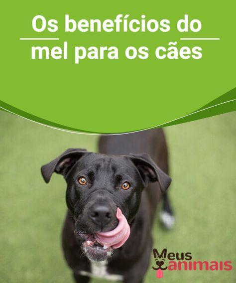 Mel para cachorros conheça os benefícios is part of Mel Para Cachorros Conheca Os Beneficios Meus Animais - Como remédio natural, o mel é melhor para a saúde de nosso cão que o uso de comprimidos ou produtos farmacêuticos, pois o mel é nutritivo saudável e natural