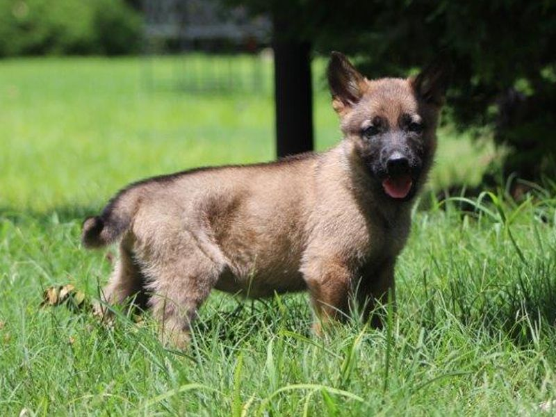 Which Of My Followers Know You Are Loving Owners Of Doggies Puppy Owner Malinois Puppies Belgian Malinois Puppies