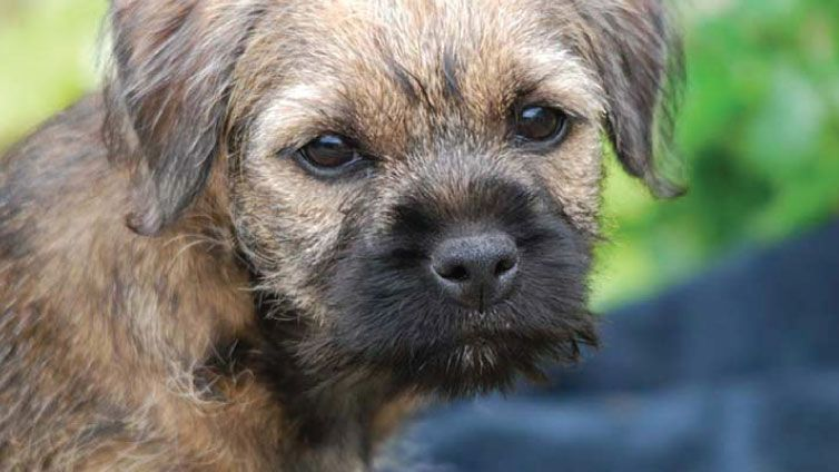 30 Small Hypoallergenic Dogs That Don T Shed Border Terrier