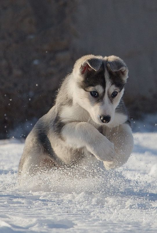 Husky This Is Where I Was Born To Be From Lynn A Superb Shot