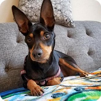 Mantel fur pinscher