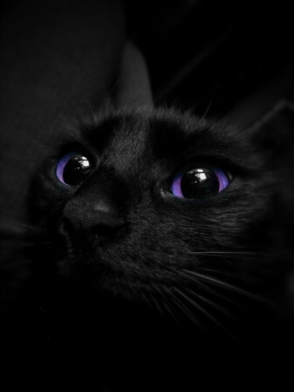 Purple Aesthetic Cat Colors Cat With Blue Eyes Gorgeous Cats