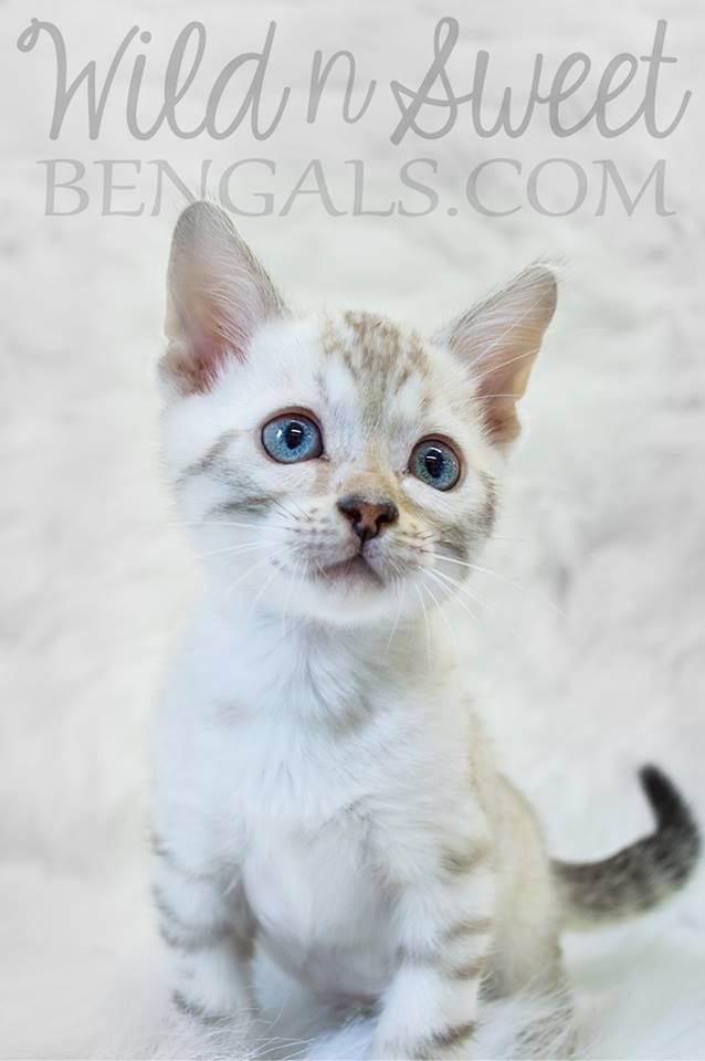 Cute Snow Bengal Kitten With Stunning Blue Eyes More Pictures Of