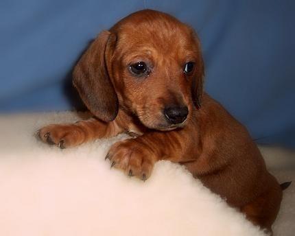 Smooth Haired Miniature Pedigree Dachshund Puppies Diss Training
