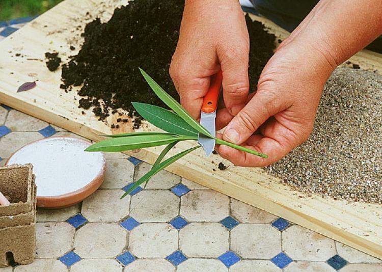 bouturage du laurier rose jardin laurier rose jardins et arbuste. Black Bedroom Furniture Sets. Home Design Ideas