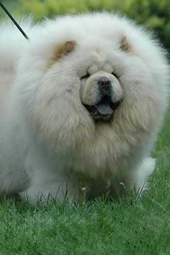 This Is The Fluffiest Chowchow I Ve Ever Seen Chow Chow Dogs