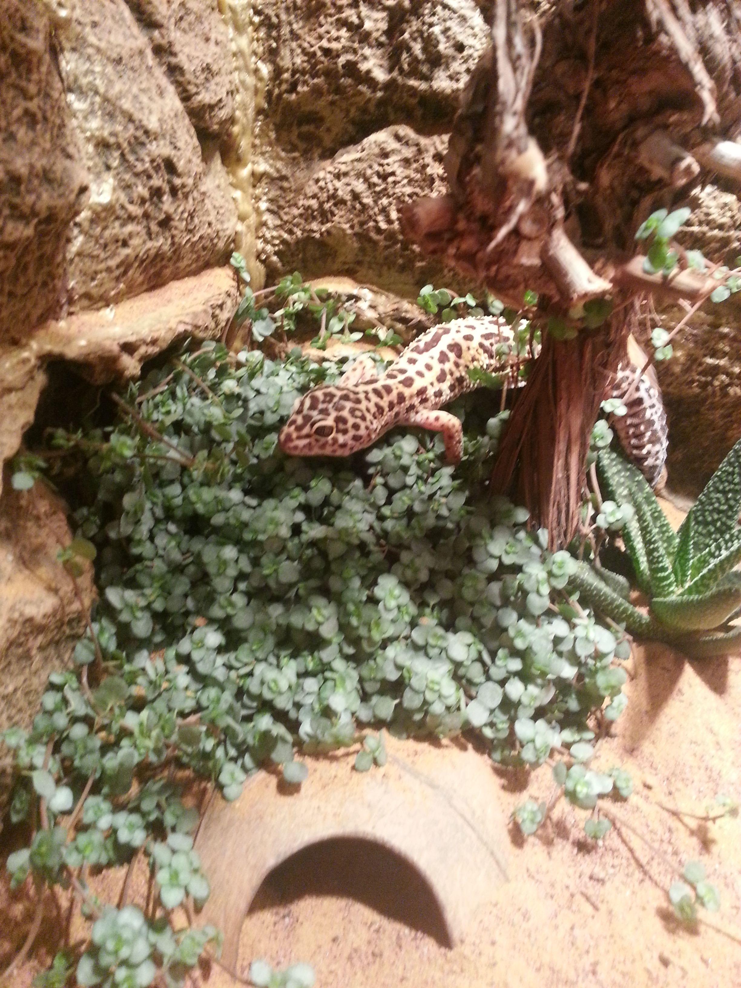 My Leopard gecko #leopardgeckos