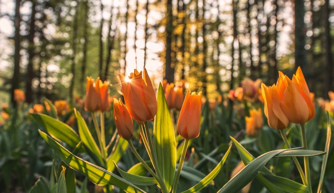 Sunrise tulips HD photo by Ales Krivec (aleskrivec) on