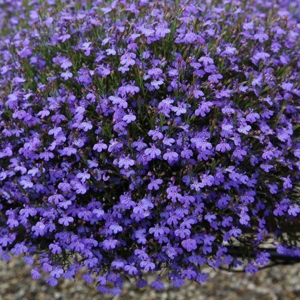 Image Result For Lobelia Erinus Garden Pinterest Blumen