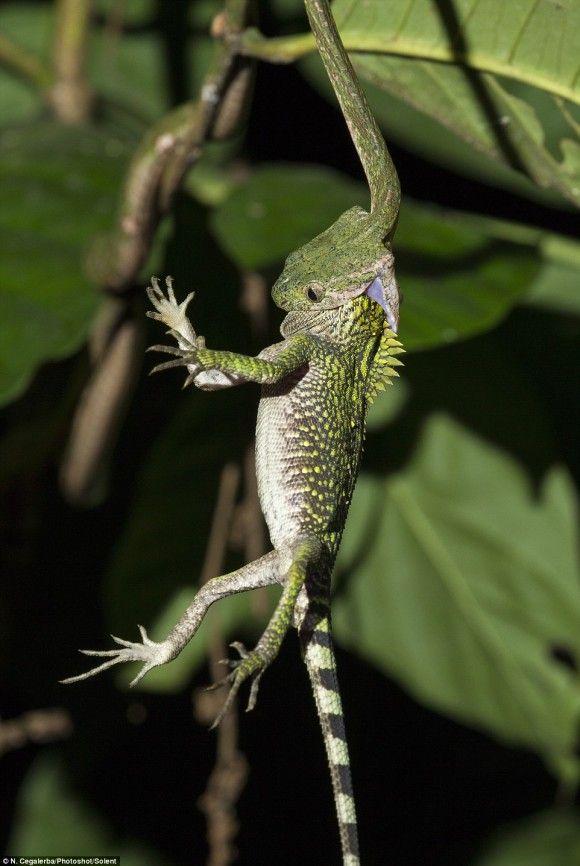 あか ん 食べたらあか ん 必死の抵抗むなしくヘビに飲み込まれるトカゲ インドネシア 捕食注意 カラパイア トカゲ 捕食 ヘビ