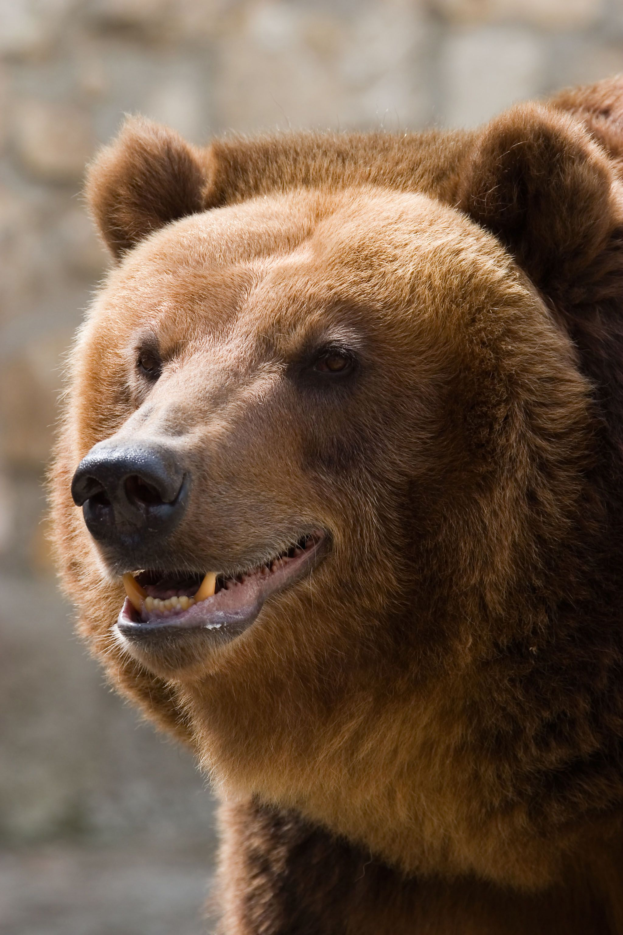 One large grizzly bear! (With images) Grizzly bear