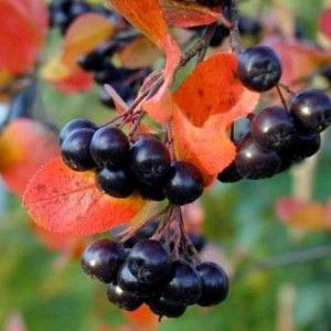 Photo of Viking Chokeberry – Grimm's Gardens
