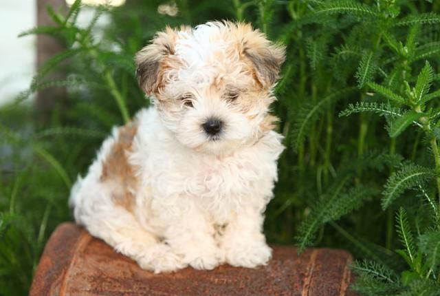 Spunky Morkie Puppy For Sale In East Earl Pa Morkie Puppy