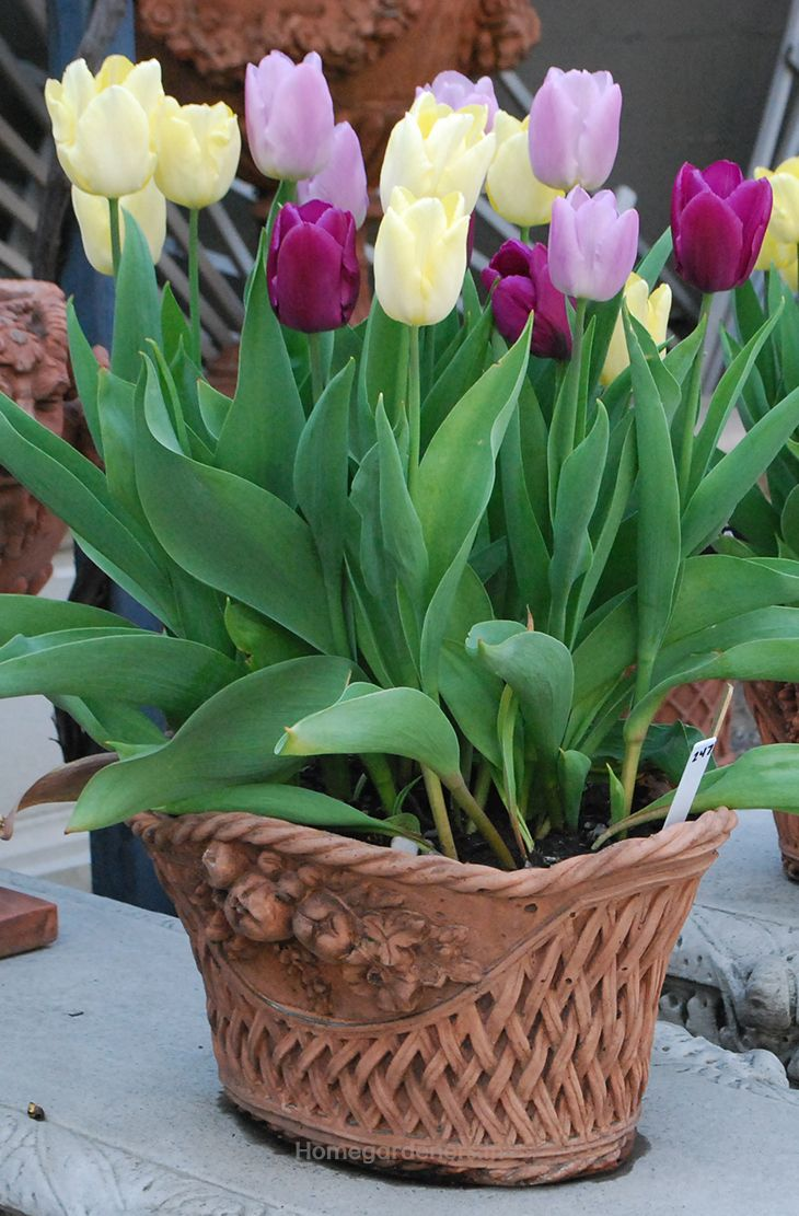 Amazing Facts About Tulips That Will Impress Your Friends