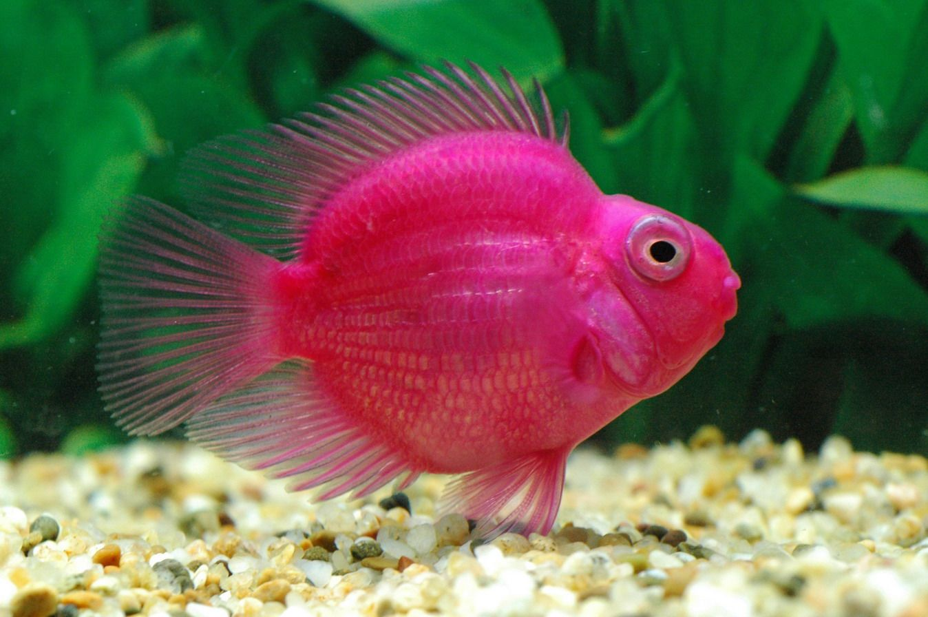 Purple Parrot Fish   045PP-Cichlasoma var.   DOWN BY THE SEA (3 ...