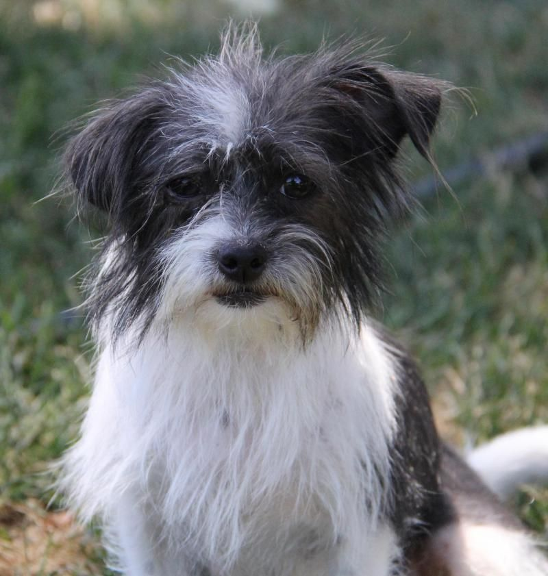 Adopt Scruffers Adoption Pending On Petfinder Terrier Dogs Terrier Mix Dogs Adoption