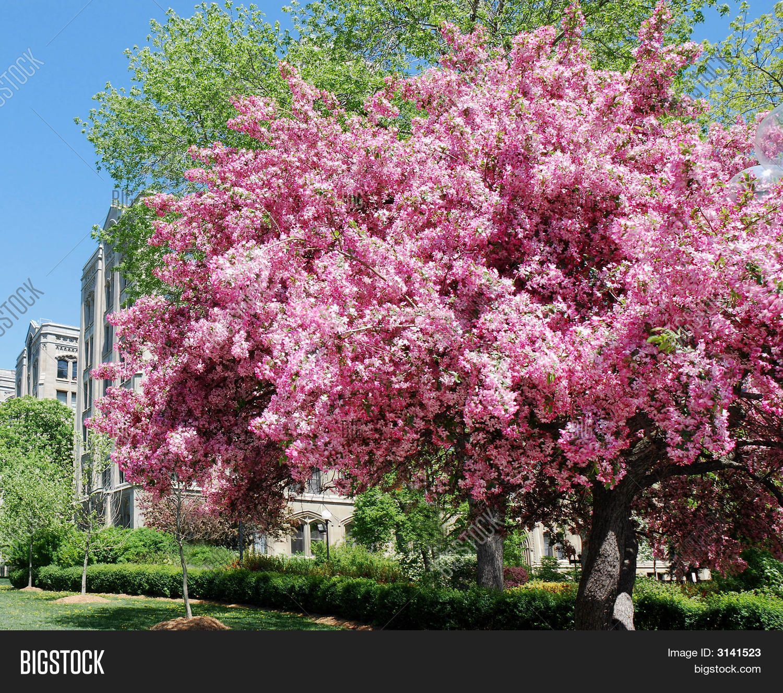 Flowering crabapple tree gardening ideas by sunshine fievet flowering crabapple tree mightylinksfo