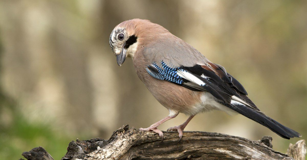 Wonderbaar Vogels In De Tuin Herkennen: 27 Tuinvogels & Info (met HC-94