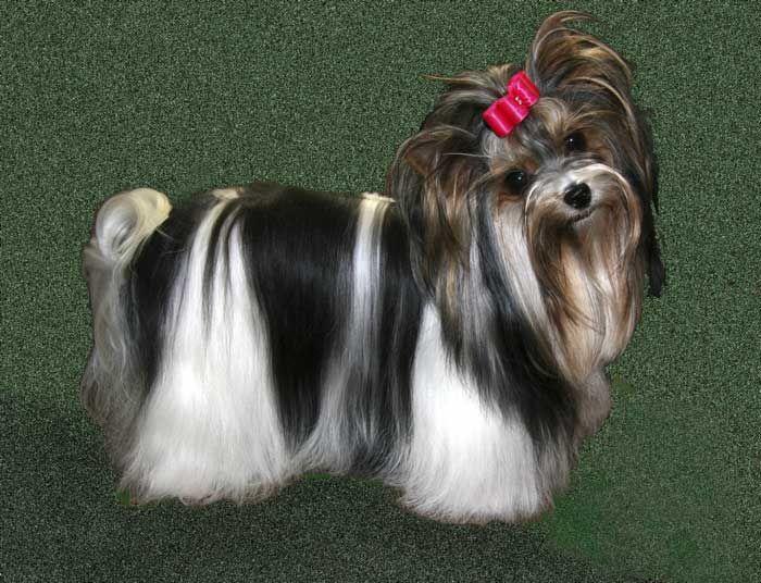 Pin By Lisa Carey On Pets Biewer Yorkie Yorkshire Terrier Puppies Yorkie