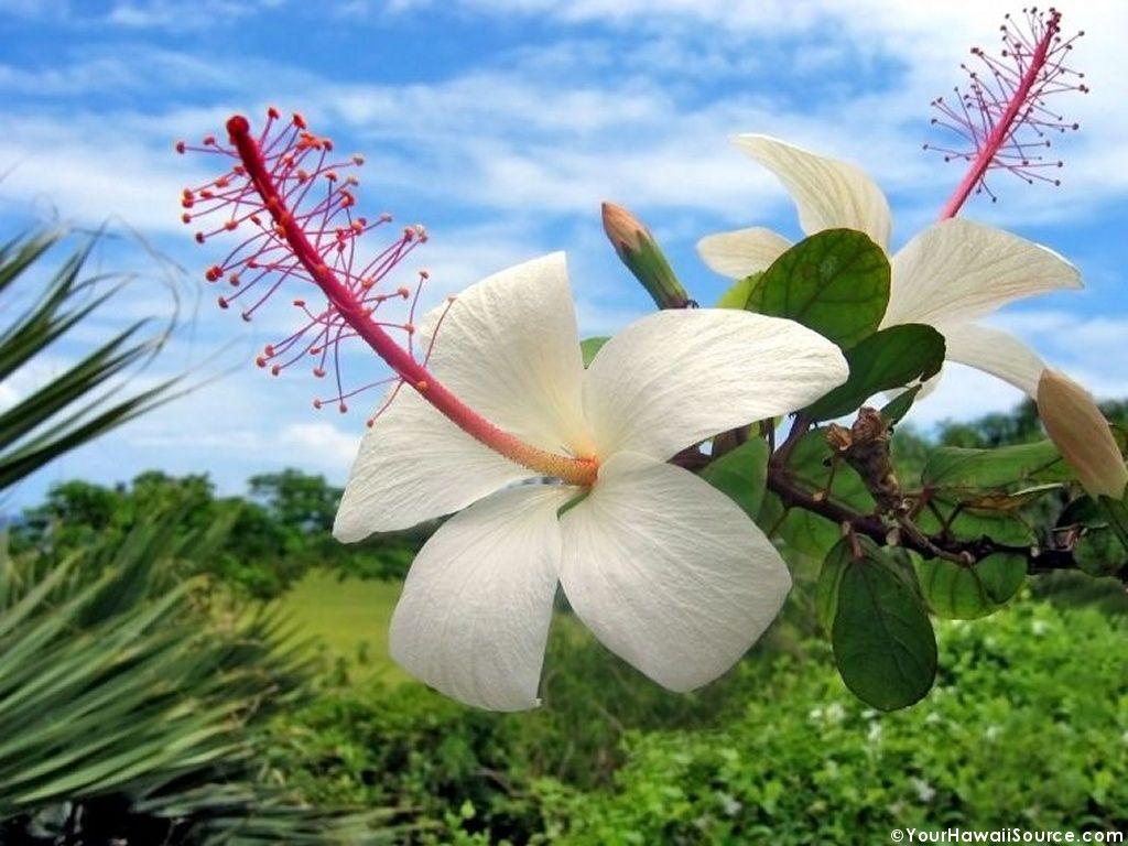 Flower images 14 hawaiianflower9g1024 x 768 2535kb www flower images 14 hawaiianflower9g1024 x 768 2535kb top3rab izmirmasajfo Images