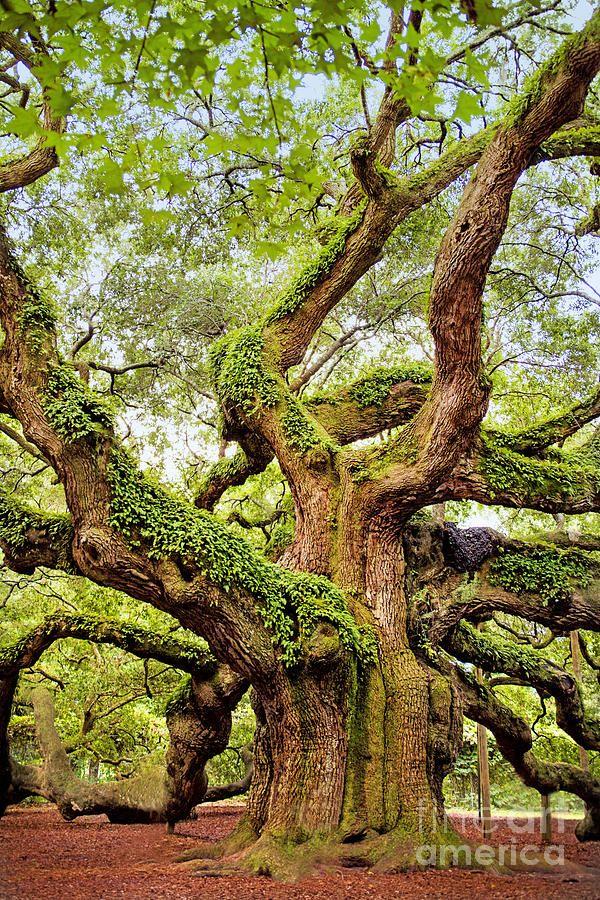 Angel Oak Tree by Sharon McConnell