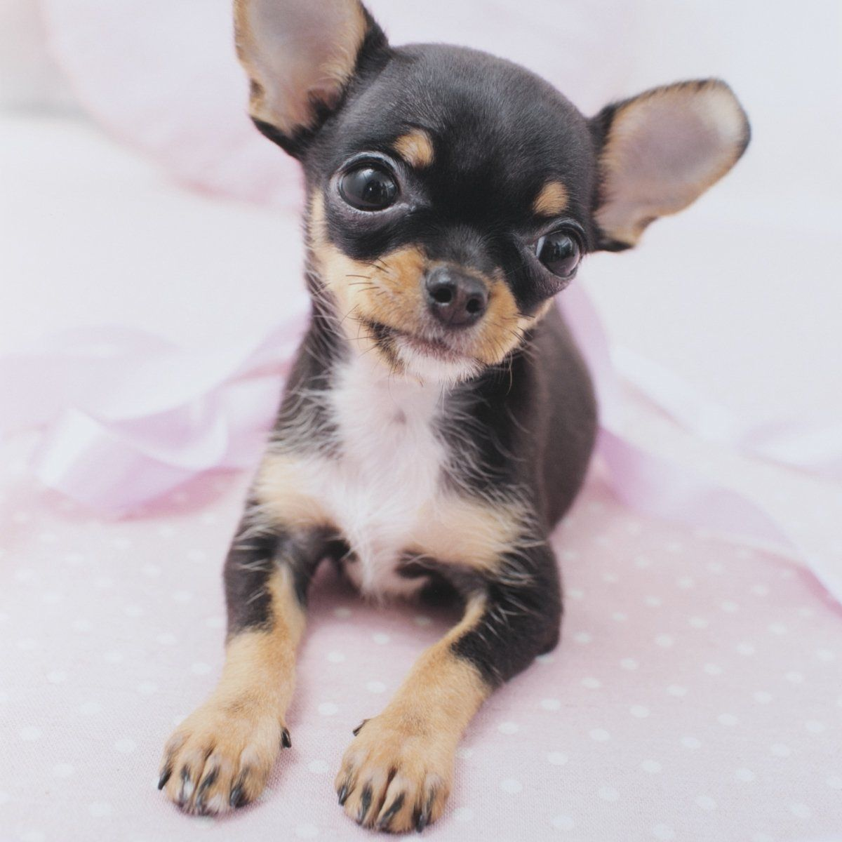 Chihuahua Puppies Are Small Sized And Have A Variety Of Coats And