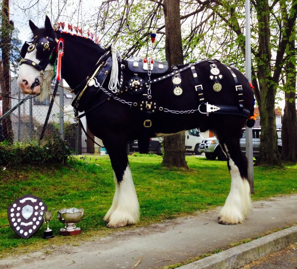 Draft horse Ned, showing Overall Driven Champion Photo by Gentle Giants-Shire Horses