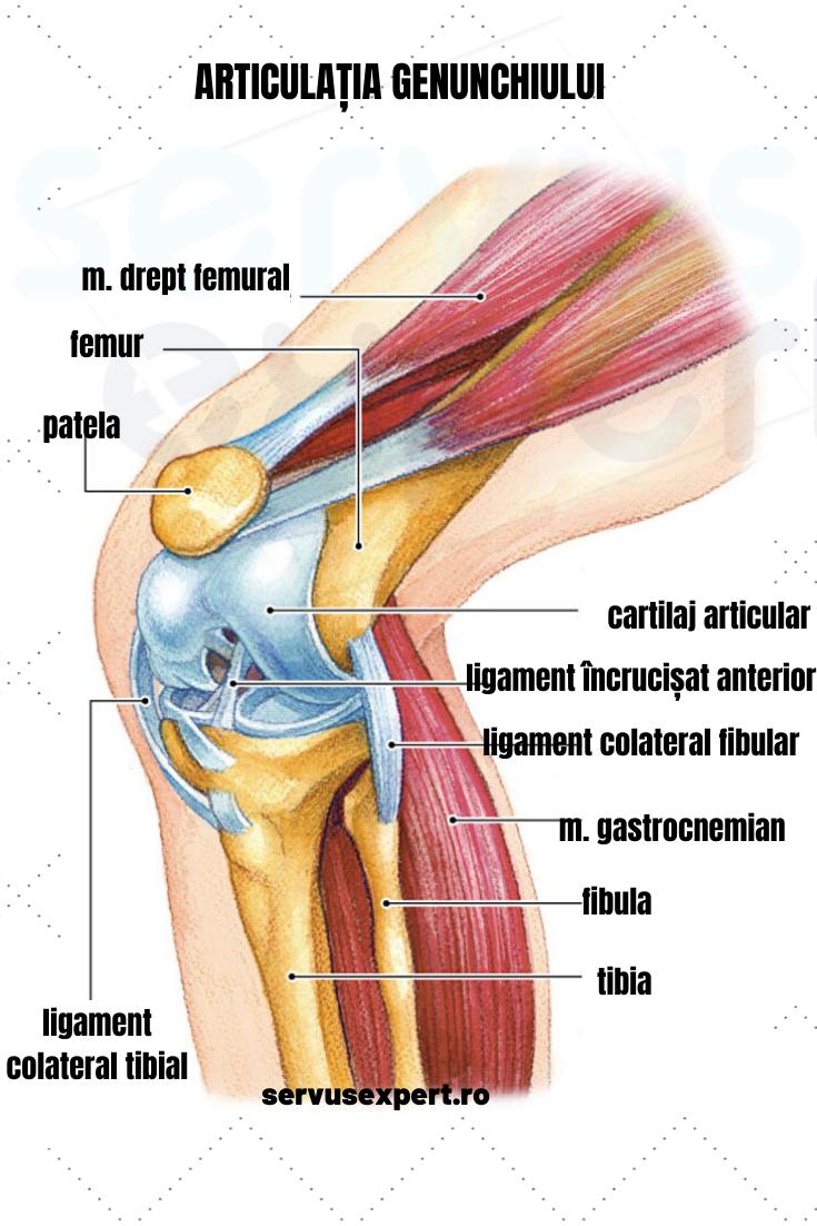 penisul este cartilaj sau)