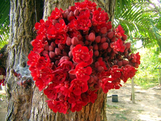 Super Cacau selvagem | FLORES & FLOWERS | Pinterest | Cacau, Selvagens e  VS73